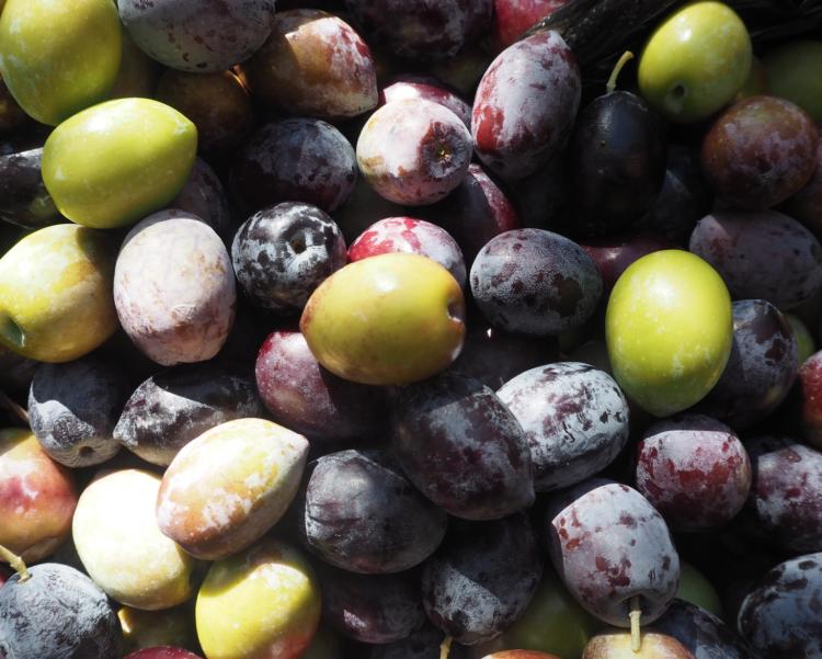Oliventur med eurodan, oliventur alanya, oliventur tyrkiet, landsbytur alanya, plukke oliven alanya, plukke oliven tyrkiet, alanya blog, alanya blogger, tyrkiet blog, tyrkiet blogger